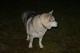 Galeria pies goworow